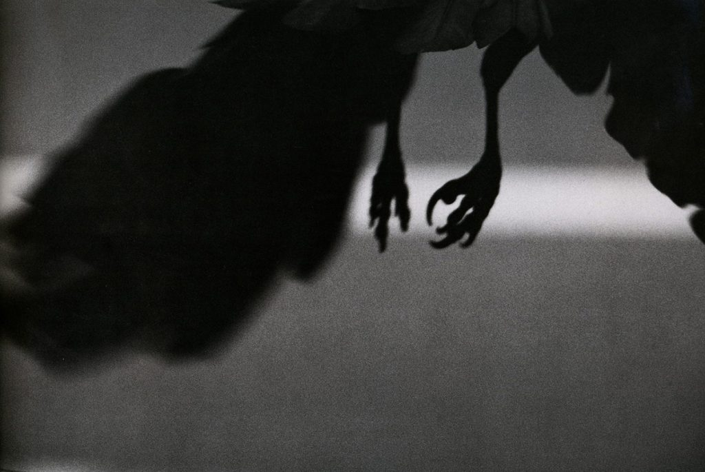 Fotografía © Masahisa Fukase, 'The solitud of ravens